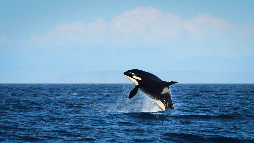 oldest-orca-killer-whale-granny-j2-heather-macIntyre-7.jpg